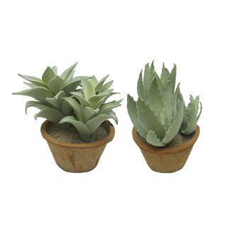 Aloe 24cm In Terra Pot 16x10cm- 2asst