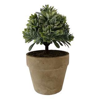 Pittosporum 16cm In Nat Pot 9x7.5cm
