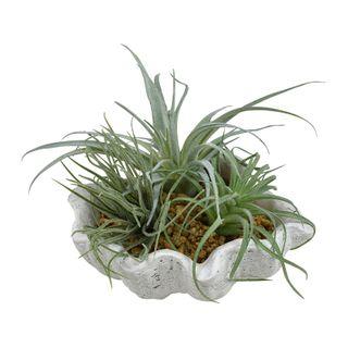 Succulents In Clam Planter 18x18x15cm