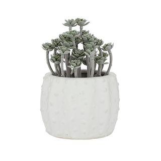 Succulent 18.5cm In Wh Urchin Pot 11.9cm