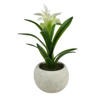 Billbergia 27cm In White Pot 11x7.5cm
