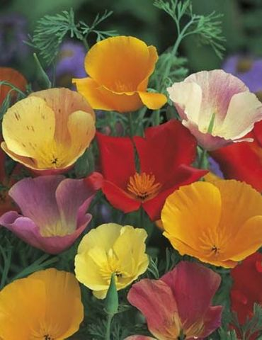 Mr. Fothergill's Californian Poppy Single Mixed Seed Packet
