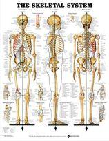 Chart, Skeletal System Soft