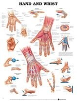 Chart, Hand & Wrist Soft Lamin