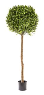 Boxwood Ball Tree 1.5M (Dia 60cm)