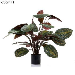 Calathea Fasciata 65cm Green/Red