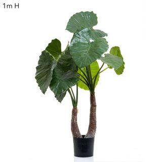 Alocasia Calidora 1m W/13 Lves