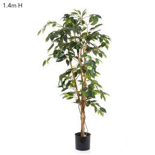 Ficus 1.2m