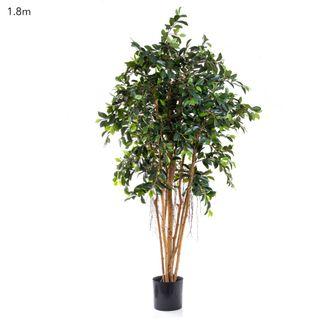 Ficus Retusa 1.8m
