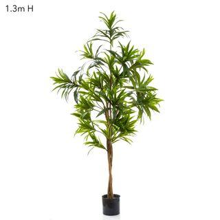Dracaena Reflexa 1.3m Green