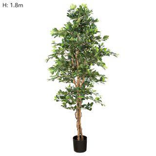 Ficus Retusa Bush Tree 1.8m
