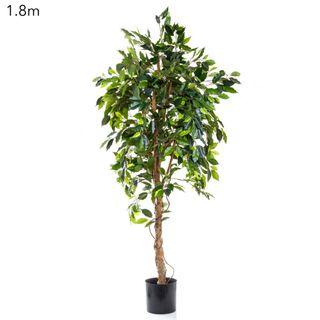 Ficus Vine Tree 1.8m