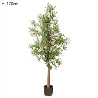 Olive Tree 1.7m