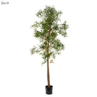 Olive Tree 2m