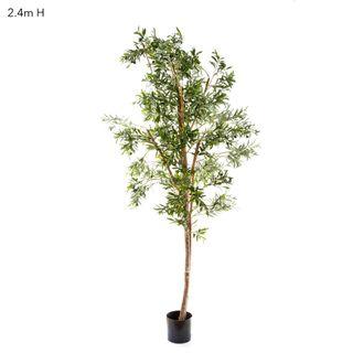 Olive Tree W/4472 Lvs 2.4m
