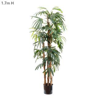 Raphis Palm (Thin Leaf) 1.7m