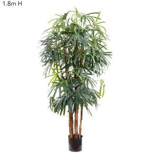 Raphis Palm (Broad Leaf) 1.8m