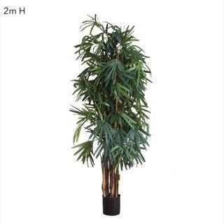 Raphis Palm (Thin Leaf) 2m