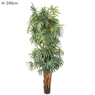 Raphis Palm (Thin Leaf) 2.4m