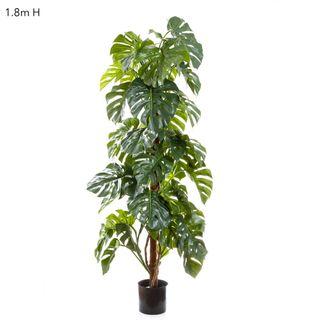 Split-Leaf Philodendron 1.8m