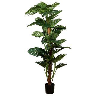 Split-Leaf Philodendron 1.9m