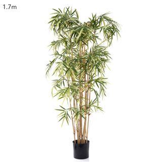 Variegated Royal Bamboo 1.7m