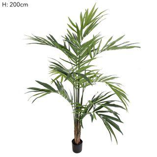 Kentia Palm Potted 2.4m 216 Lvs