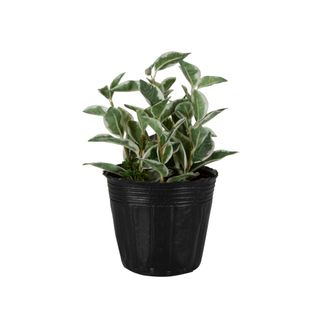 Variegated Leaves in Paper Pot Green