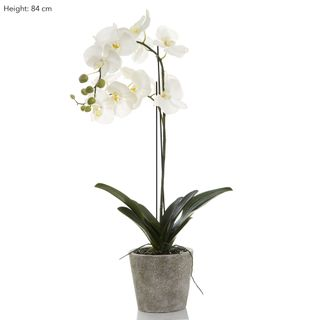 Orchid in Clay Pot 84cm White