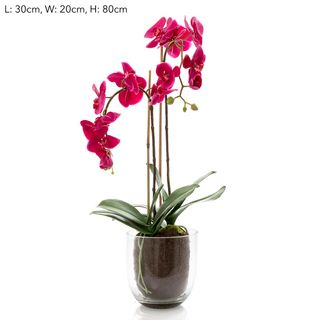 Orchid in Glass Vase W/Lvs Fuchsia