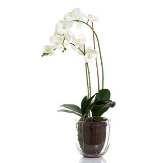 orchid in glass vase w/lvs white