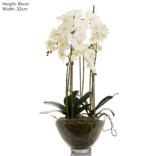 Orchid Large in Glass Bowl White