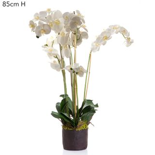 Phalaenopsis in Paper Pot White