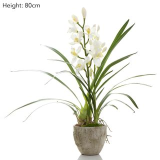 Cymbidium Orchid in Pot