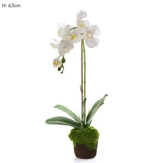 Orchid in Moss Pot White