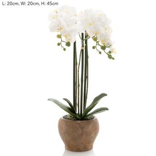 Orchid in Terra Pot White