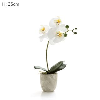 Phal R/Touch in Clay Ivory Pot 35cm
