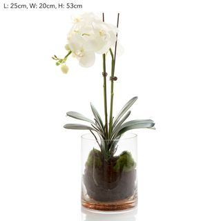 Orchid Phal in Glass Vase in Water White