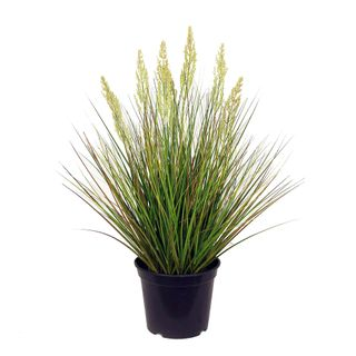 Onion Grass in Pot 60cm
