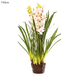 Cymbidium Giant Paper Pot 110cm Lt.Pin