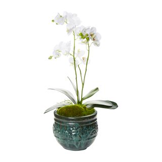 White Phalaenopsis Orchid in Small Planter