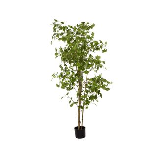 Ginko Tree Potted 1.8m 786 Lvs