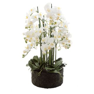 Orchid in Paper Pot Extra Large 90cm White