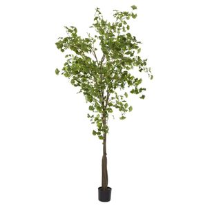 Ginko Tree Potted 2.4m