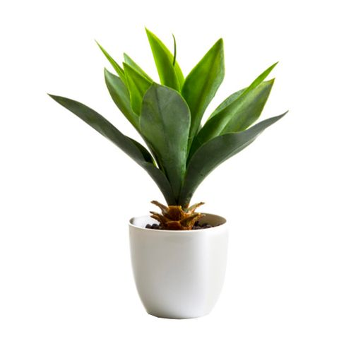 Agave in White Pot 27cm Light Green