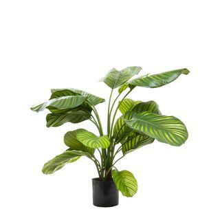 Calathea Fasciata Green 65cm