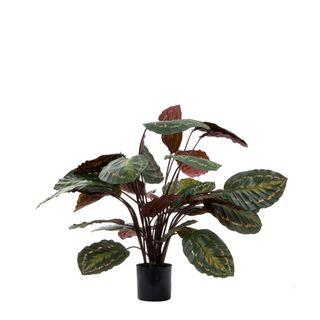 Calathea Fasciata Green and Red 65cm