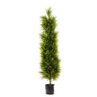 Cypress Pine 1.5m