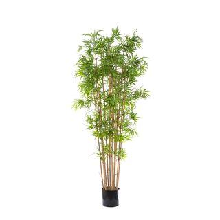 Japanese Bamboo Tree 1.9m