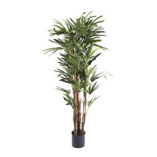 Raphis Palm 1.5m